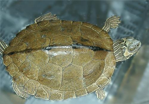 阿拉巴马地图龟的形态特征