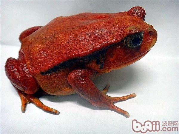 安东吉利红蛙的环境要求