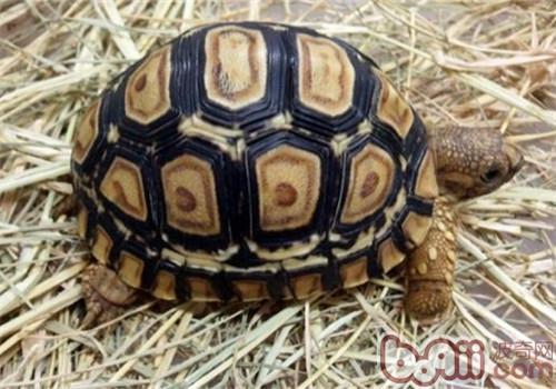 豹纹陆龟的养护要点