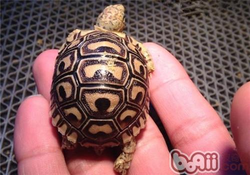 豹纹陆龟的品种简介