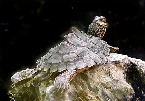 阿拉巴马地图龟的品种简介