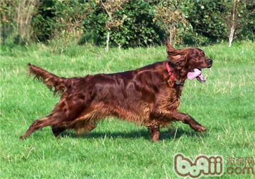 爱尔兰雪达犬的养护知识