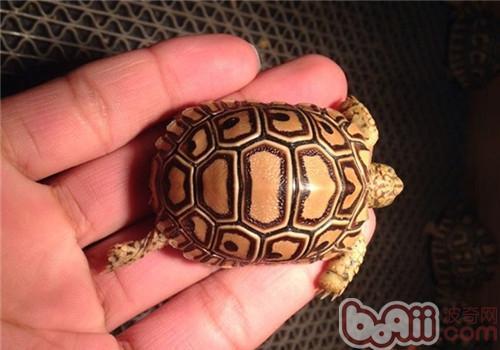 豹纹陆龟的生活环境布置