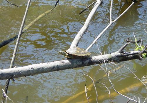 阿拉巴马地图龟吃什么?