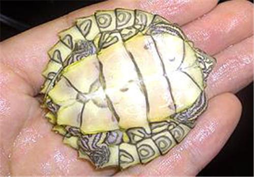 阿拉巴马地图龟的养护方法