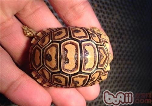 豹纹陆龟的形态特征