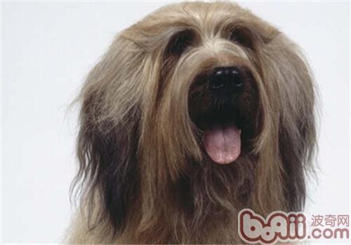 伯瑞犬可以吃大蒜嘛