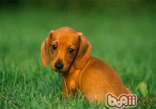 腊肠犬的形态特征