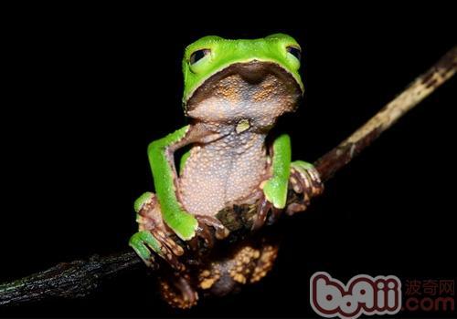 中国树蛙的生活环境