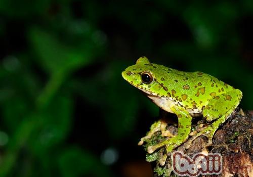 中国树蛙的饲养要求