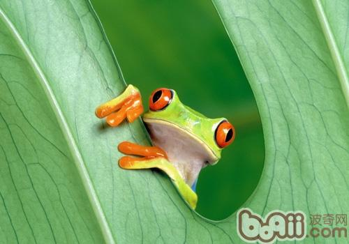 中国树蛙的品种简介