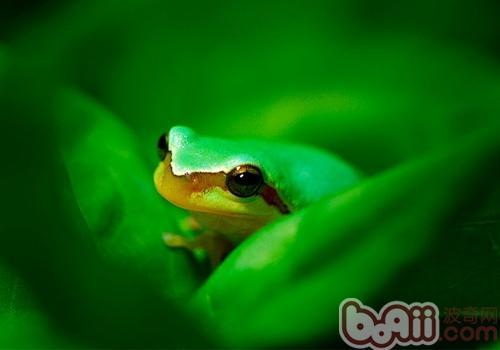 中国树蛙的形态特征