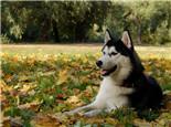 后會無期中的狗是阿拉斯加犬雪橇犬嗎?