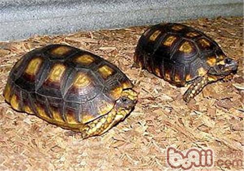 黄腿象龟的外形特征