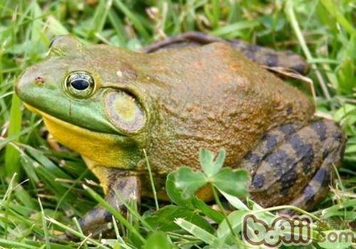 猪鸣蛙的护理知识