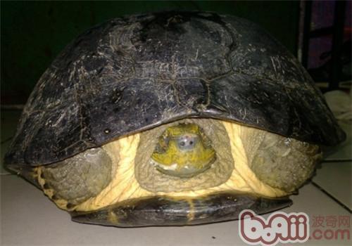 黄头庙龟的生活环境布置
