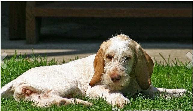 狗狗品种_可爱宠物狗品种大全-页3-波奇网百科大全