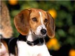美國獵狐犬的品種簡介