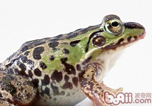 猪鸣蛙需要什么样的生活环境