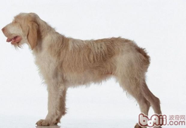 史毕诺犬的护理知识