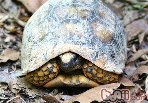 黄腿象龟喜欢吃什么?