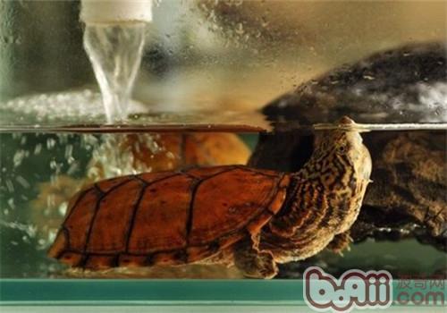 虎纹麝香龟的饲养环境