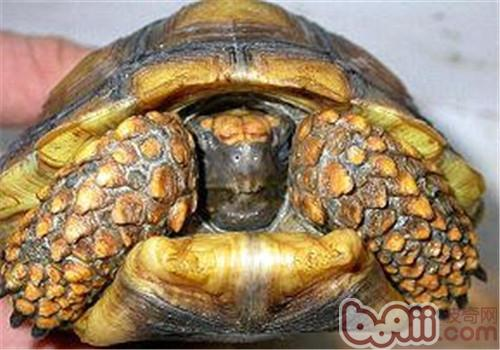 黄腿象龟的护理要点