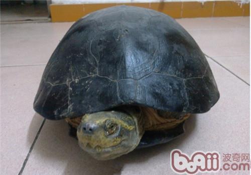 黄头庙龟的品种简介
