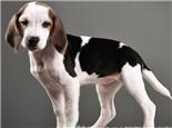 美國獵狐犬的性格特點