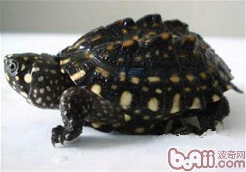 哈米顿氏龟的食物要求