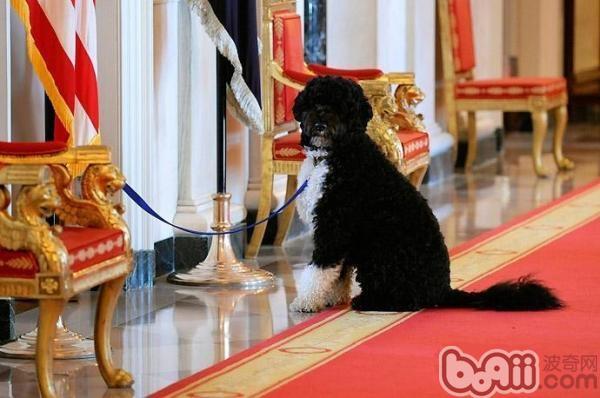 葡萄牙水犬的品种简介