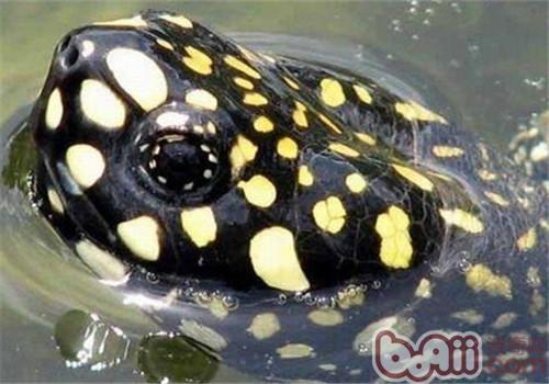 哈米顿氏龟的形态特征