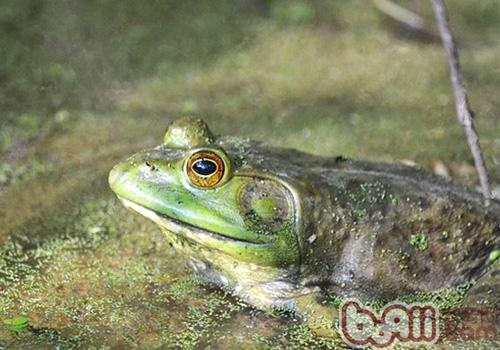 猪鸣蛙的形态特征