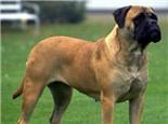 獒犬的品种简介