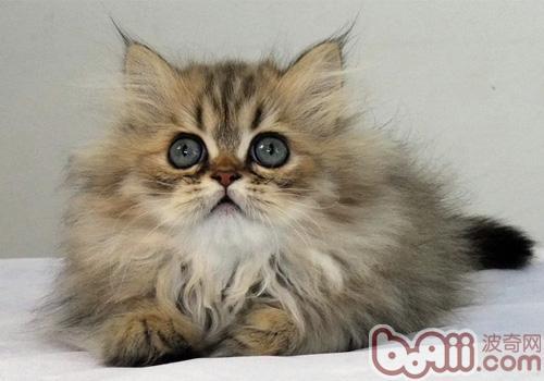 金吉拉猫的品种简介