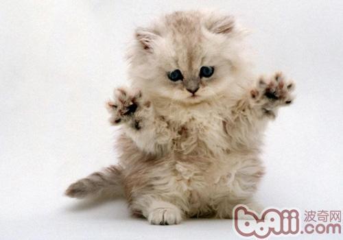 金吉拉猫的形态特征如何