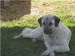 安娜图牧羊犬的养护知识