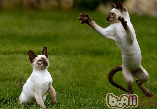 如何养护暹罗猫