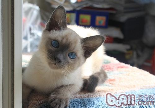暹罗猫的品种简介