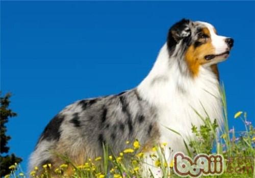 澳大利亚牧羊犬的品种简介