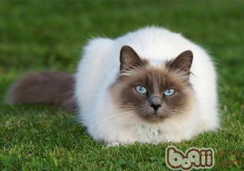 暹罗猫的喂食要求