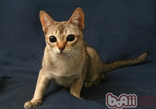 新加坡猫品种简介