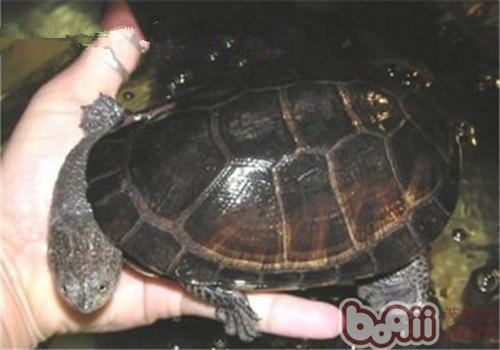 巴西放射刺颈龟多少钱一只 巴西放射刺颈龟好养吗 波奇宠物品种大全