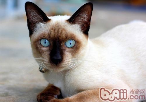 暹罗猫真的是很聒噪的猫咪吗