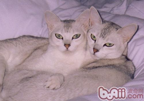波米拉猫的形态特征如何