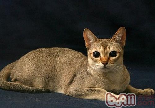 新加坡猫的形态特征