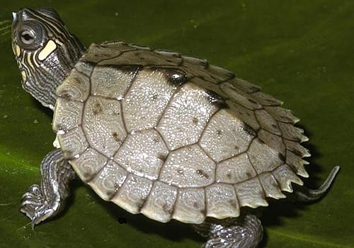 部黑瘤地图龟的品种简介-爬虫品种