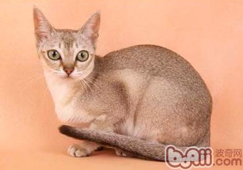 新加坡猫的喂食要求
