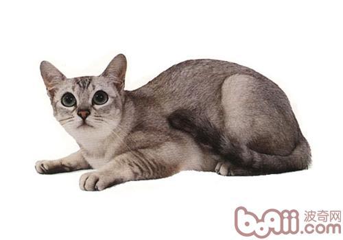 波米拉猫的性格特征如何