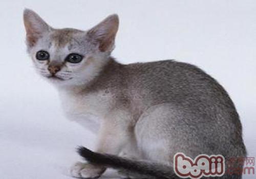 新加坡猫的养护